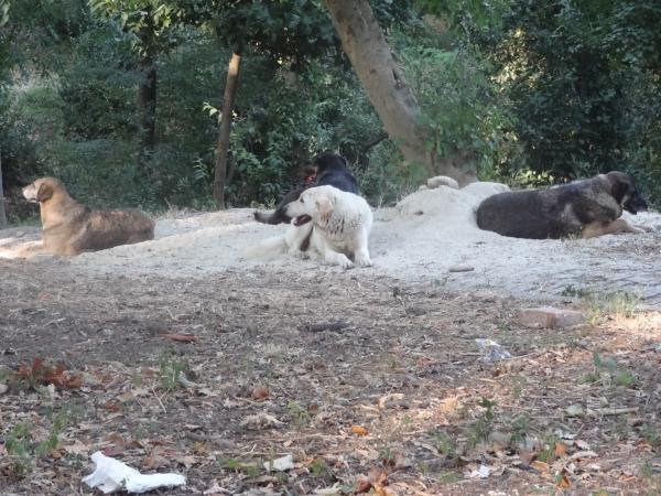 Les chiens de Yildiz