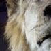 Un lion à La Criée