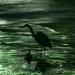 鴨川/Kamo-gawa, la rivière aux canards